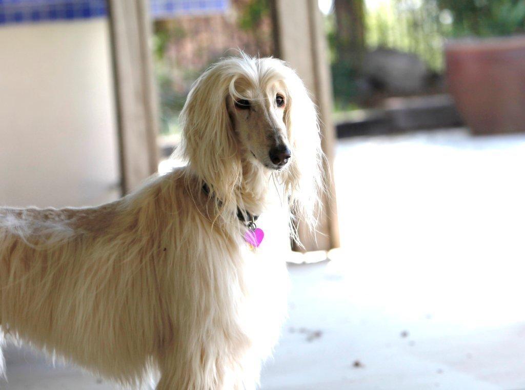 adoptable dogs « Afghan Hound Rescue