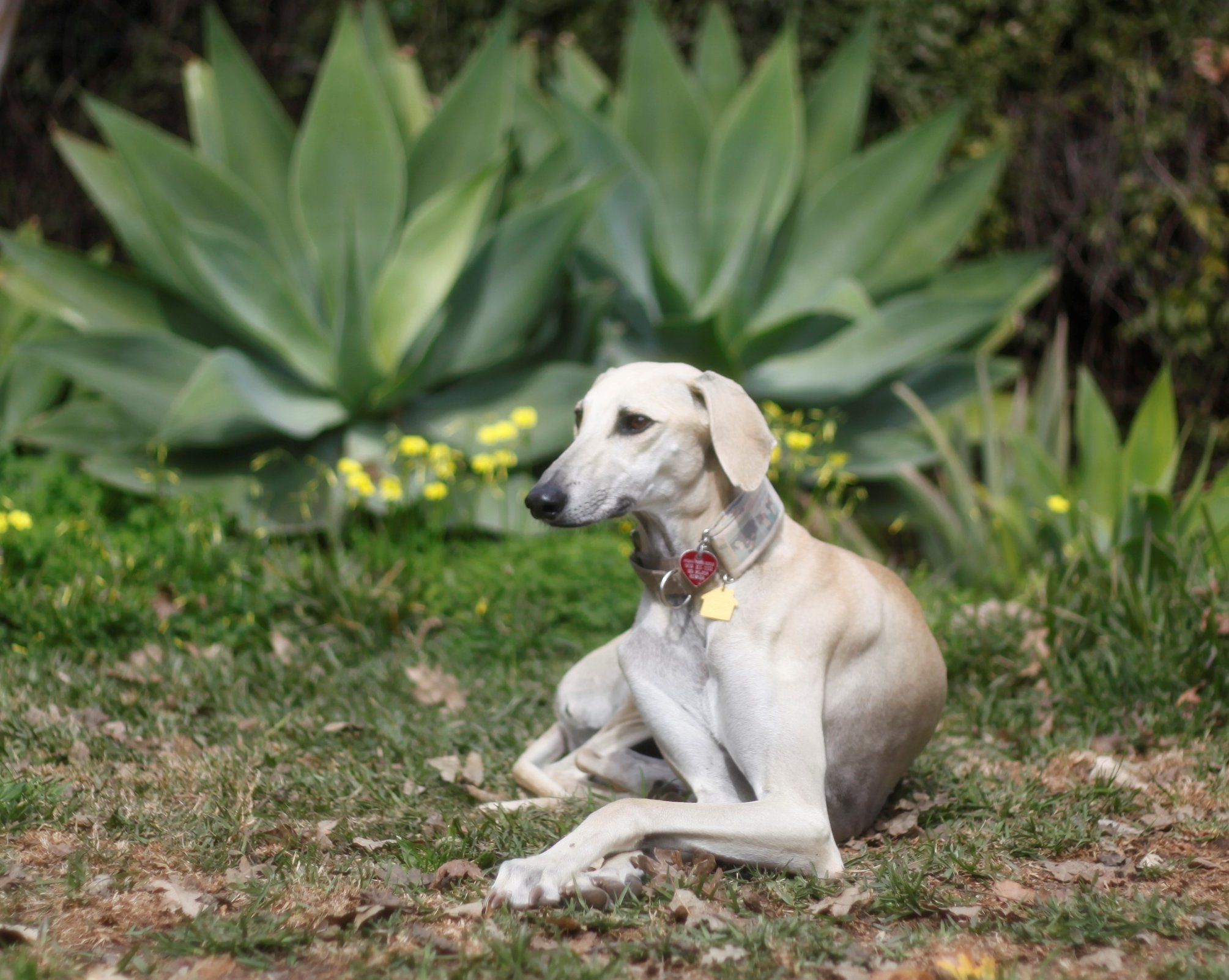 adoptable dogs Archives - Afghan Hound Rescue Afghan Hound